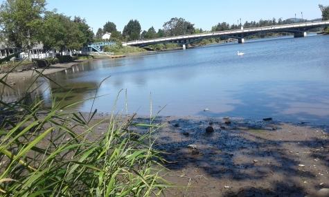 Yarrow Park swan