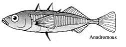sticklebackfishdlmacphail1993